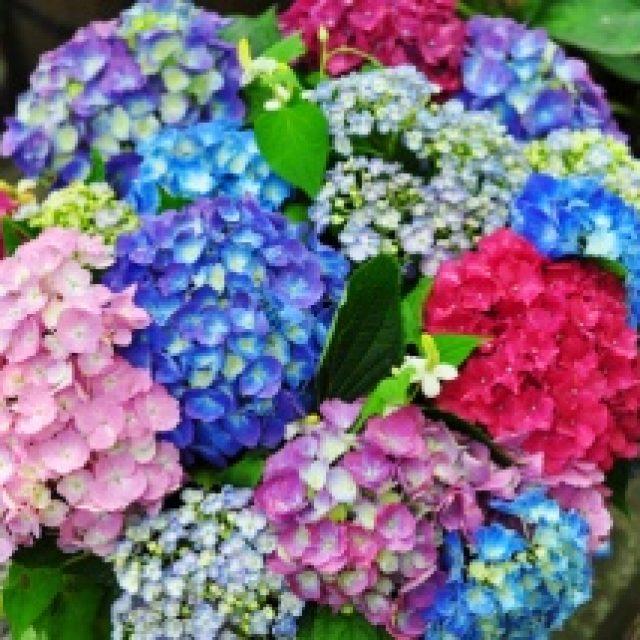 紫陽花って漢字かっこいい。